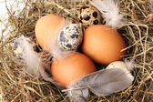 Chicken and quail eggs in a nest closeup — Stock Photo