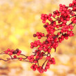 Beautiful branch with red berries on yellow background - Stock Photo
