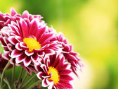 Beautiful red chrysanthemum on green background — Stock Photo