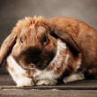 Lop-eared rabbit on grey background — Stock Photo