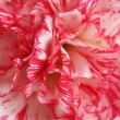 Beautiful carnation closeup — Stock Photo