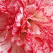 Beautiful carnation closeup — Stock Photo