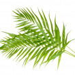Stock Photo: Beautiful palm leaves isolated on white