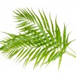 Beautiful palm leaves isolated on white — Stock Photo #8770850