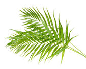 Beautiful palm leaves isolated on white — Stock Photo