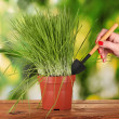 Green grass in flowerpot on green background - Стоковая фотография