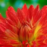 Red autumn dahlia flower in the garden — Stock Photo