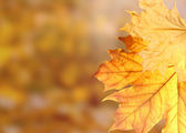 Dry autumn maple leaves on yellow background — Stock Photo
