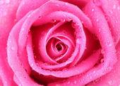 水液滴のクローズ アップとピンクのバラ — ストック写真