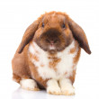 Lop-eared rabbit isolated on white — Stock Photo