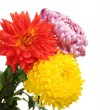 Royalty-Free Stock Photo: Colorful chrysanthemums isolated on white