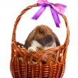 Lop-eared rabbit in a basket with purple bow isolated on white — Stock Photo #8878063