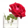 Beautiful red rose in transparent vase isolated on white — Stock Photo