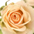 Stock Photo: Rose closeup