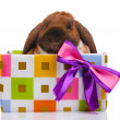 Lop-eared rabbit in a gift box with purple bow isolated on white — Stock Photo
