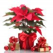 Beautiful poinsettia in flowerpot, New Year's balls and gifts isolated — Stock Photo