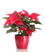 Beautiful poinsettia in flowerpot isolated on white — Stock Photo