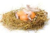 白で隔離される巣に鶏の卵 — ストック写真
