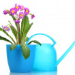 Royalty-Free Stock Photo: Beautiful purple primrose in a flowerpot and watering can isolated on white