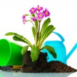 Beautiful purple primrose, soil, watering can and tools isolated on white — Stock Photo #9168102