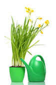 Beautiful yellow daffodils in flowerpot and watering can isolated on white — Stock Photo