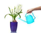 Beautiful white hyacinth in purple flowerpot and watering can isolated on w — Stock Photo