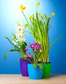 Piękne wiosenne kwiaty w doniczkach na drewnianym stole na niebieskim tle — Zdjęcie stockowe