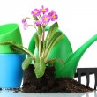 Beautiful purple primrose, soil, watering can and rake isolated on white - Photo