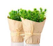 Thyme herb plants in pots with beautiful paper decor isolated on white — Stock Photo
