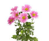 Pink chrysanthemum flowers isolated on white — Stock Photo