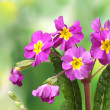Beautiful purple primrose on green background — Stock Photo