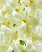 Beautiful white hyacinth close up — Stock Photo