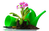 Beautiful purple primrose, soil, watering can and tools isolated on white — Stock Photo