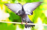 Una paloma gris sentado sobre fondo verde — Foto de Stock
