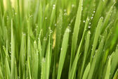 Green grass closeup — Stock Photo