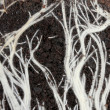 Background of roots in the land - Stock Photo
