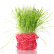 Green grass in flowerpot isolated on white — Stock Photo