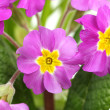 Beautiful purple primrose in green garden close up — Stock Photo