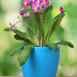 Beautiful purple primrose in a flowerpot on wooden table on green background — Stock Photo
