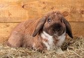 Zběsilého útoku králík v sena na dřevěné pozadí — Stock fotografie