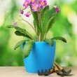 Beautiful purple primrose in a flowerpot and garden tools on wooden table on green background - Stockfoto