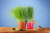 Green grass in two flowerpot on blue background — Stock Photo
