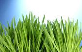 Beautiful green grass on blue background — Stock Photo