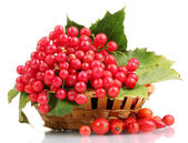 Red berries of viburnum in basket and briar isolated on white — Zdjęcie stockowe
