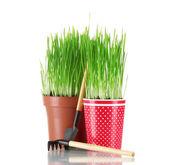 在白色上孤立的两个花盆中的绿草 — 图库照片