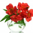 Alstroemeria red flowers in vase isolated on white — Stock Photo #9910589