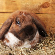 Royalty-Free Stock Photo: Lop-eared rabbit in a haystack on wooden background