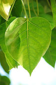 Bodhi or Peepal Leaf from the Bodhi tree, Sacred Tree for Hindus and Buddhist — Stock Photo