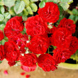 Red roses in the garden — Stock Photo