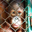 Orangutan being detained — Stock Photo